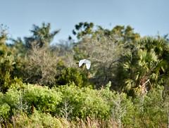 02-22-18-0004843 (Lake Worth) Tags: animal animals bird birds birdwatcher everglades southflorida feathers florida nature outdoor outdoors waterbirds wetlands wildlife wings