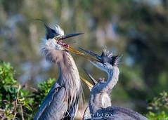 Chow Time (DonMiller_ToGo) Tags: wildlife venicerookery nature onawalk birds outdoors birdwatching greatblueheron d810 rookery florida