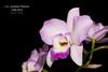 Laeliocatarthron [Dialaeliocattleya] Garland Hanson AM/AOS (Orchidelique) Tags: nature plant flower exotic orchid hybrid laeliocattarthron lcr garlandhanson dialaeliocattleya dialc silvertoy laelia l anceps am aos ncjc britishembassy 2014815