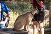 Caracal (Ginny Winblad) Tags: caracal sandiego sandiegozoosafaripark