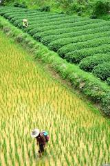 Rice and tea cultivation - Sànjiang  China (Pietro D'Angelo2012) Tags: rice tea cultivation plantation sanjiang china