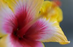 Hibiscus  - 7504653 (@nikondxfx (instagram)) Tags: delhi happyholi holidays macrophotography march nikkor nikon tamron tamron90 tamron90mm balcony flower flowerphotography garden macrolens weekend hibiscus