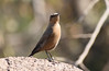 brown rock chat (praveen.ap) Tags: brown rock chat brownrockchat indian indianchat ranthambhore ranthambore ranthambhoretigerreserve ranthambhorenationalpark ranthamborenationalpark ranthamboretigerreserve rajasthan ranthambhorefort ranthamborefort