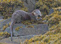 Otter (KHR Images) Tags: otter lutralutra eurasianotter wild mammal feeding rocks kelp isleofmull innerhebrides scotland nature scottish wildlife nikon d500 kevinrobson khrimages