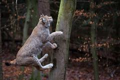 junping lynx (Cloudtail the Snow Leopard) Tags: luchs lynx katze cat feline animal tier säugetier mammal beutegreifer predator pinselohr sprung springen jump jumping wildpark pforzheim