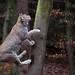 junping lynx