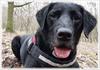 Wk02-2018 (moi_images) Tags: picaweek black lab labrador