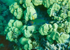 Saddleback wrasse, Cleaner wrasse, Maui, Hawaii 95-16-23_8.3.95Underwater_Yup (wbaiv) Tags: underwater maui hawaii recyclable shallow water camera film cropped closeup kodak fuji must find negatives look disposable clear plastic box portfolio