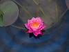 Nymphaea 'Siam Dahlia' Hardy Waterlily บัวฝรั่งสัญชาติไทย 'สยามดาเลีย' 3 (Klong15 Waterlily) Tags: siamdahlia nymphaea thailandwaterlily pinkwaterlily waterlily waterlilies สยามดาเลีย บัวฝรั่งสัญชาติไทย flowerlover lotusflower บัวฝรั่งสัญชาติไทยสยามดาเลีย ดอกบัว บัวฝรั่ง