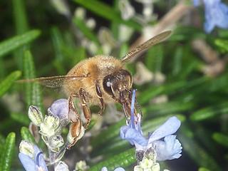 European Honey bee P1033704