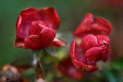 ~~ Des Roses qui ont survécu à l'hiver...~~ (Joélisa) Tags: macro fleur flower janvier2018 nikon roses rouge red
