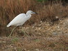 Little Blue Heron immature 02-20180202 (Kenneth Cole Schneider) Tags: florida miramar westmiramarwca