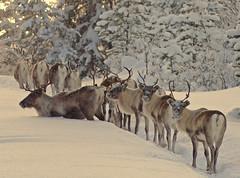 reindeers (grynetvalp) Tags: coth5 specanimal ngc npc