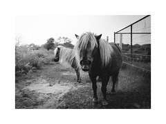 Doornpanne natuurdomein (gerritdevinck) Tags: doornpanne oostduinkerke koksijde koksijdeoostduinkerke natuur nature naturephotography zwartwit zwartwitfotografie belgium belgie blackandwhite blackandwhitephotography monochrome documentary documentaryphotography animals horses horse pony vsco fujifilm fujifilmseries fujifilmxseries fujifilmx100s fujifilmbelgium fujifilmphotography x100s weskust