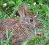 Marsh rabbit (Sylvilagus palustris) - Florida (Vicki's Nature) Tags: marshrabbit small rabbit brown mammal grass dingdarlingnwr sanibelisland florida 8632 sylvilaguspalustris eating