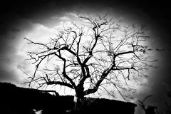 old walnut...ghosts (Antonio Piccialli) Tags: 2018 febbraio canoneos60d campania cilento castellabate canonixus155 puntatresino elaborazione explore explored fluidr fluidrexplored flickr flickrclickx bw bn blackwhite bianconero blackandwhite rudere ruinabandoned