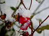 Snow (PaulaCamara) Tags: helsinki filand finland finlandia europa europe european snow snowed flower contrast colorful nieve nevado contraste flores rosa rose rosal rame fotografía foto photography photo ramephotography
