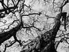 Trees (jenskretschmer) Tags: hamburg street photography strassenfotografie schwarzweiss black white blackwhite bw sw fujifilm x20 tree trees baum bäume winter