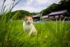 thrivers on islands #120 (Manabe Island, Okayama) (Marser) Tags: xt10 fuji raw lightroom japan okayama island cat weed rural calico 岡山 真鍋島 猫 貓