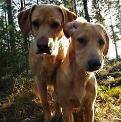 Sunshine and Sky..x (Lisa@Lethen) Tags: dogs labradors puppy golden woods play sunlight