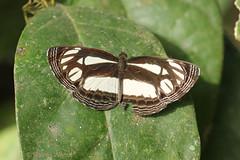 IMG_5367 Neptis melicerta (Raiwen) Tags: neptis neptismelicerta neptini limenitidinae nymphalidae lepidoptera butterfly guinéeforestiere guinea westafrica africa