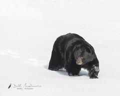 Black Bear - up early (Bill McDonald 2016) Tags: black quebec winter hungry