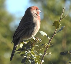 House Finch, Male #1 (beautyinature4me) Tags: bird avian housefinch male deeppink sedona arizona november2016