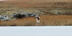 Lost.... (lillypotpie) Tags: babylonghorn wichitamountainwildliferefuge wildlife oklahoma winter nationalpark