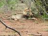 Leeu / Lion (Bruwer Burger.) Tags: lion leeu coth5