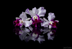 Cattleya Orchid (jasonsulda) Tags: cattleya orchid colour black flowers floral arrangement shadows reflections