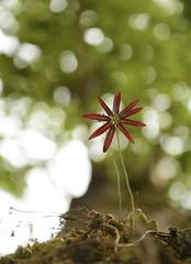 Bulbophyllum fimbriatum (5) (siddarth.machado) Tags: sakleshpurflorakarnatakaorchids bulbophyllum epiphite fimbriate endemic