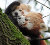red panda Blijdorp BB2A8946 (j.a.kok) Tags: panda redpanda rodepanda kleinepanda blijdorp animal mammal asia azie china zoogdier dier