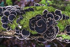 Champignons sur une souche (kingfisher001) Tags: champignons souche arbre forêt