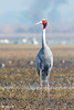 Sarus Crane (mathewindelhi) Tags: sarus crane india delhi bird red birds wild wildlife nature beauty