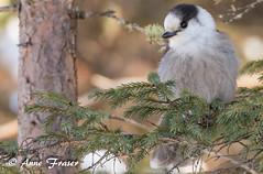 Gray Jay (Anne Marie Fraser) Tags: bird animal tree nature wildlife jay grey gray greyjay grayjay cute fluffy soft pretty forest woods whiskeyjack