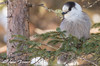 Gray Jay (Anne Marie Fraser) Tags: bird animal tree nature wildlife jay grey gray greyjay grayjay cute fluffy soft pretty forest woods whiskeyjack