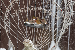 sharing (Dotsy McCurly) Tags: female cardinal male housefinch bird birds nature beautiful eat eating snow snowing yard nj newjersey nikond850 nikonafsnikkor200500mmf56eedvr 7dwf