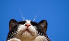 Cat (yasurbina) Tags: cat gato gatto chat gat sky blue chile santiadodechile katze قط kat 猫 고양이 mačka kissa γάτα anu חתול kot кот แมว kedi furry adorable sweet cute catlover beautiful amazing