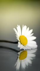 lazy daisy (ingoal18) Tags: daisy gowan gänseblümchen gelb yellow weiss white bokeh nikkor micro 105 105mm 28d 28 macro makro achromat marumi 3 newlens d7100 nikon beautiful flower pollen blumen blume soft spiegelung spiegelungen spiegel mirror mirroring double