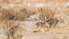 coyote (scepdoll) Tags: grandtetonnationalpark jackson jacksonhole kelly wyoming coyote snow winter unitedstatesofamerica