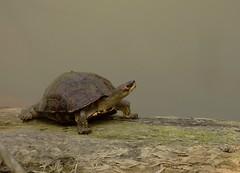 Assam Roofed Terrapin (GnPEye) Tags: assam kaziranga terrapin india wildlife bramhaputra explore rare turtles