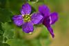 Rock cress (pstenzel71) Tags: blumen natur darktable bokeh samsungnx blaukissen flower rockcress aubrietahybrida