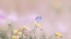 A dream (Inka56) Tags: 7dwf macroorcloseup butterfly ant meadow flowers pastel bokeh jupiter21m oldlens manualfocus hbw