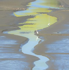 Strange but natural color around Tomales Bay. (Ruby 2417) Tags: mustard wetland tomales yellow blue nature color egret bird wildlife
