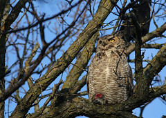 Great Horned Owl...#11 (Guy Lichter Photography - 3.7M views Thank you) Tags: owlgreathorned canon 5d3 canada manitoba winnipeg wildlife animal animals birds owl owls