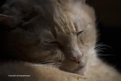 Leo Cat and Sunshine (Photographybyjw) Tags: leocatandsunshineleoisupinage about16now helikeswarmandlovessunbeams hemanagedtogetuptothewindowperch thenfellasleep shotinnorthcarolinaphotographybyjwleocatsunshineagelikeswarmandlovessunbeamswindowperchfellasleepwindowsunruralcountryfelinemammalusa