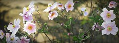 Frivolité (nathaliedunaigre) Tags: fleurs anémones flowers pink couleurrose nature anémoneshupehensis anémonesdujapon jardin garden
