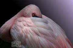 Lesser Flamingo Resting (Debi Dalio) Tags: flamingo lesserflamingo bird animal animalportrait portrait wildlife photography pink feathered feathery pastel