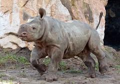 Black Rhino Mara Blijdorp BB2A3298 (j.a.kok) Tags: rhino rhinoceros zwarteneushoorn neushoorn blackrhinoceros blackrhino africa afrika animal blijdorp herbivore babyneushoorn baviaan babyrhino mara mammal zoogdier dier