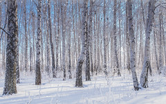 Frost dreaming (marchelkin) Tags: russia forest frost winter birch trees nature olympus snow sky